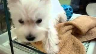 子犬のブリーダー直販支援サイト「子犬の窓口」 森川ブリーダーのウエス...