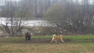 Испытания по медведю Быньги  07.05.2016 ЗСЛ 'Лангур'