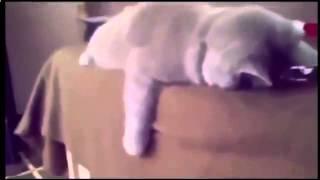 Кошка смотрит бокс по ТВ отрабатывает удары и  другие кошки приколы 1335412