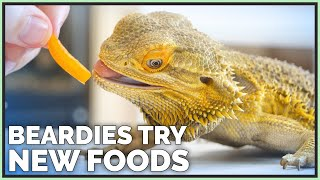 bearded-dragons-tasting-reviewing-new-foods