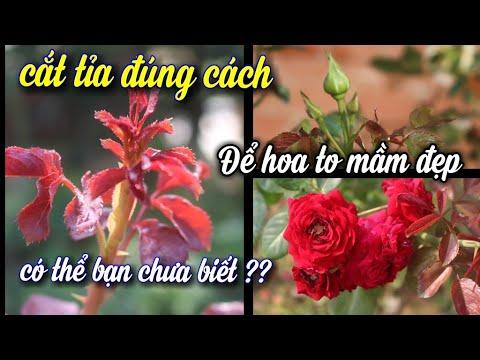 Muốn Hoa Hồng Nở Đẹp,Mầm To,Phải Cắt Tỉa Đúng Cách Này.NGƯỜI ƯƠM MẦM   Khái quát các thông tin nói về tia toc dep đúng nhất