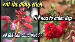 Muốn Hoa Hồng Nở Đẹp,Mầm To,Phải Cắt Tỉa Đúng Cách Này.NGƯỜI ƯƠM MẦM