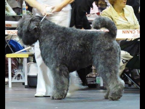 Bouvier des Flandres / Dog Breed
