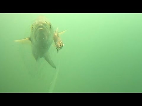 Exciting New Underwater Video Clip Of Bluefish Chasing Live Bait