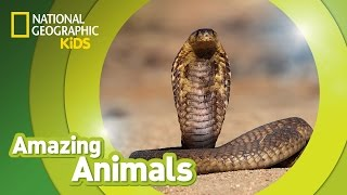 Cobra 🐍 | Amazing Animals
