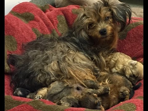 Forgotten Yorkie, In Home Alone For Month, Is Rescued by SICSA