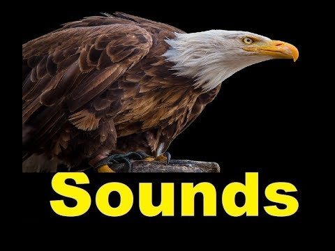 Eagle Sound Effects All Sounds