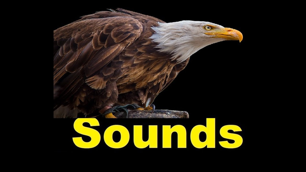 eagle sound effects all sounds youtube. Black Bedroom Furniture Sets. Home Design Ideas
