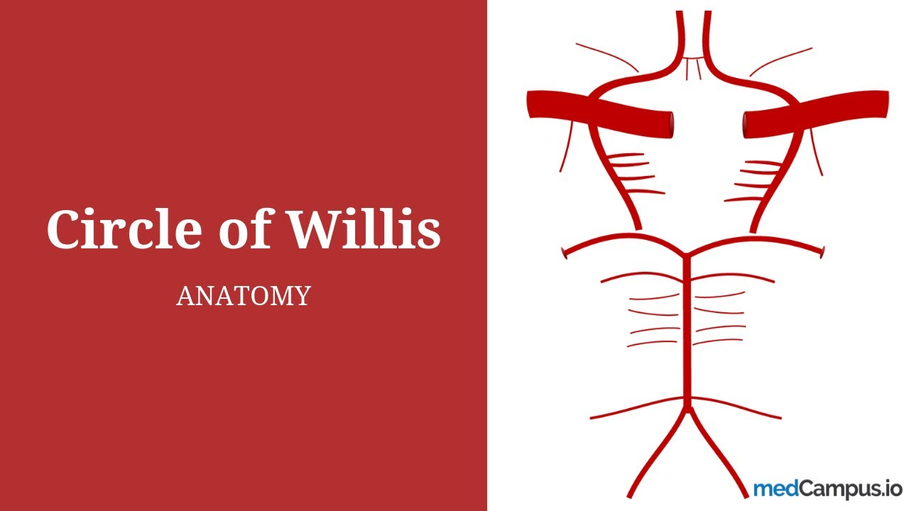 Circle Of Willis Anatomy Youtube