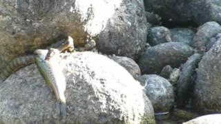 culebra pescadora
