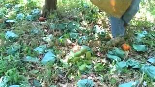 セミノールの枯れた果こう枝