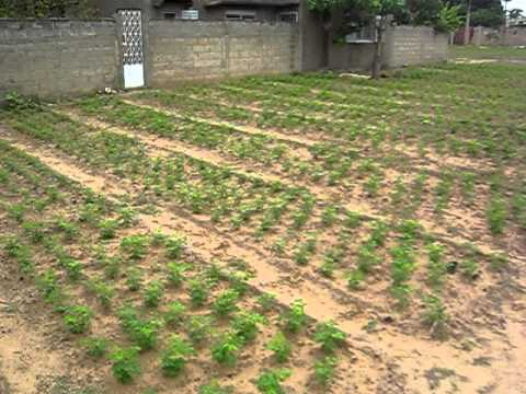 Moringa Farm Senegal
