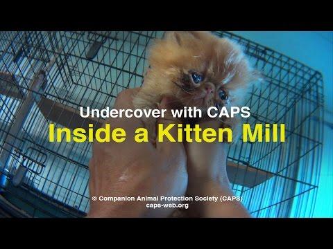 Undercover with CAPS: Inside a Kitten Mill in Nebraska (Heartbreaking)