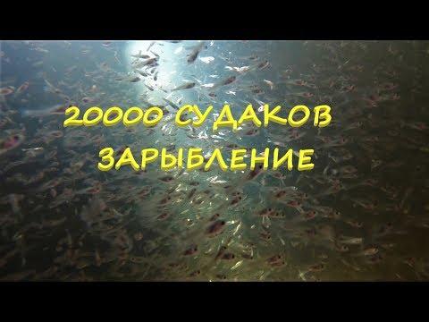 20000 судаков. Зарыбление.