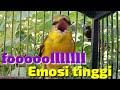 Mantenan Gunung Gacor Nembak Fooll Emosi Cocok Buat Masteran  Mp3 - Mp4 Download