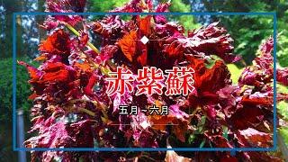 赤紫蘇 色出し  5月~6月