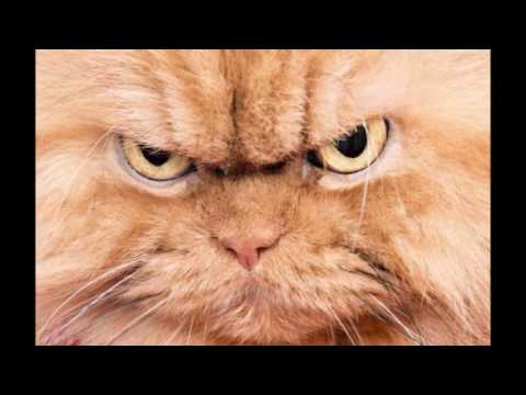 Angry Cat | Animal Ringtones | SFX