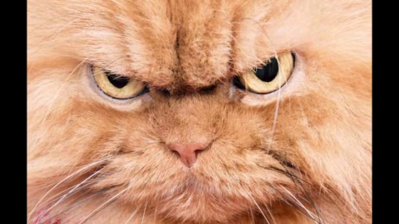 Cute Cat Wallpaper For Iphone Angry Cat Animal Ringtones Sfx Youtube