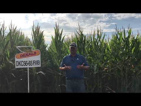 DKC56-65SSRIB - great corn on corn with GREAT stalks and top end yield!