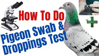 How to do Pigeons dropping (culture) & Swab test English Tipplers, Racing Pigeons