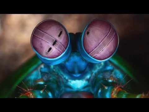 The Peacock Mantis Shrimp