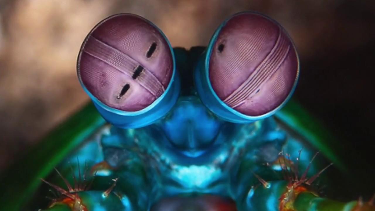 The Peacock Mantis Shrimp - YouTube