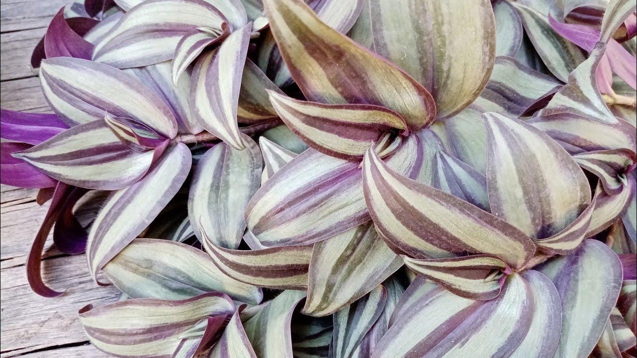 Комнатные растения. Традесканции: разновидности, омоложение куста.