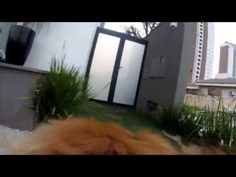 Bruce Golden Retriever tomando água GoPro Hero4 Session - Dog Life