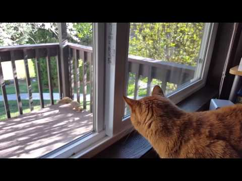 Orange tabby cat barks at squirrel
