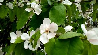 27.04.18. В Баку цветёт айва
