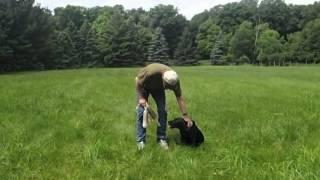 Millie Import Trained British Labrador Retriever