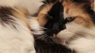 Мейн Кун Мурзя. Один день из жизни кошки.