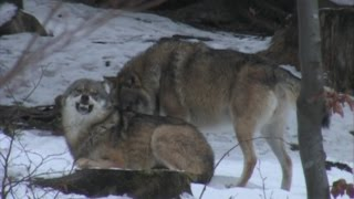 The Wolf: group's dynamics. Il Lupo:dinamiche di branco
