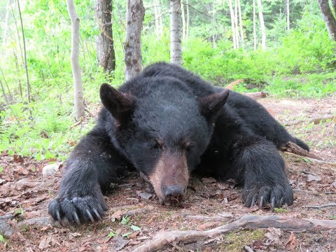 New Brunswick Black Bear Hunt Part#1