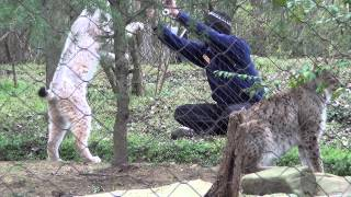 Animal Enrichment - Lynx Training