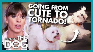 Pair of Cute Maltese Become Destructive Tornados Around Other Dogs! | It's Me or The Dog