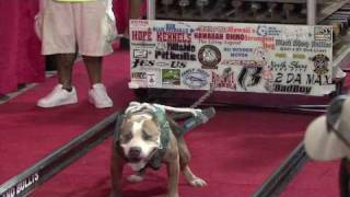 Hawaii's Strongest Pit Bull Competition