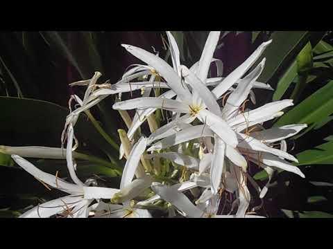 Lirio de río: Crinum asiaticum var. pedunculatum