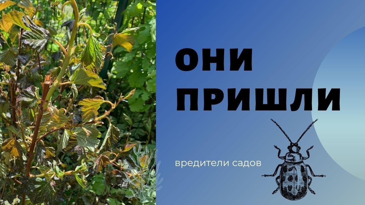 Не пропустите нашествие вредителей в саду. На что смотреть и какие растения страдают у меня
