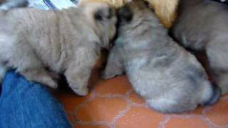 Chow Chow Puppies 4