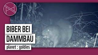 Biber bei nächtlichem Bau seines Dammes | Kamerafalle | WWF Deutschland
