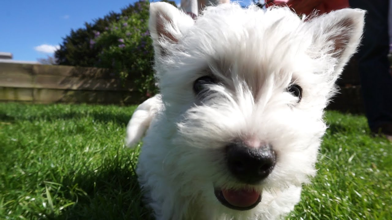 Cute west highland terrier puppies hattie the westie youtube - Pictures of westie dogs ...