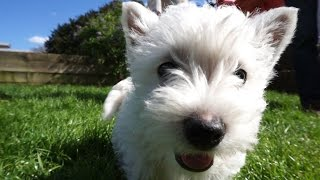 Cute West Highland Terrier Puppies - Hattie The Westie