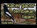 Kacer Full Isian Dan Tembakan Tajam  Mp3 - Mp4 Download