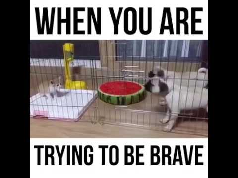 When you are trying to be brave ( a cat vs 2 dogs ) must see this.....
