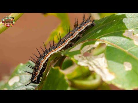 Inseticida natural para matar lagartas