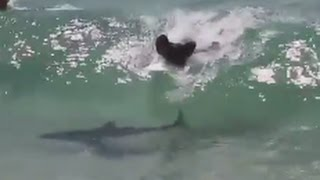 Surfer Catches Wave With Shark