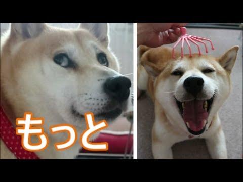 柴犬小春 【目で催促】リラックス器具が気持ち良すぎた^^