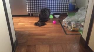 完全室内猫 二歳半雄猫ペレちゃん 後ろ姿がかわいい餌食いシーン!ビリ...