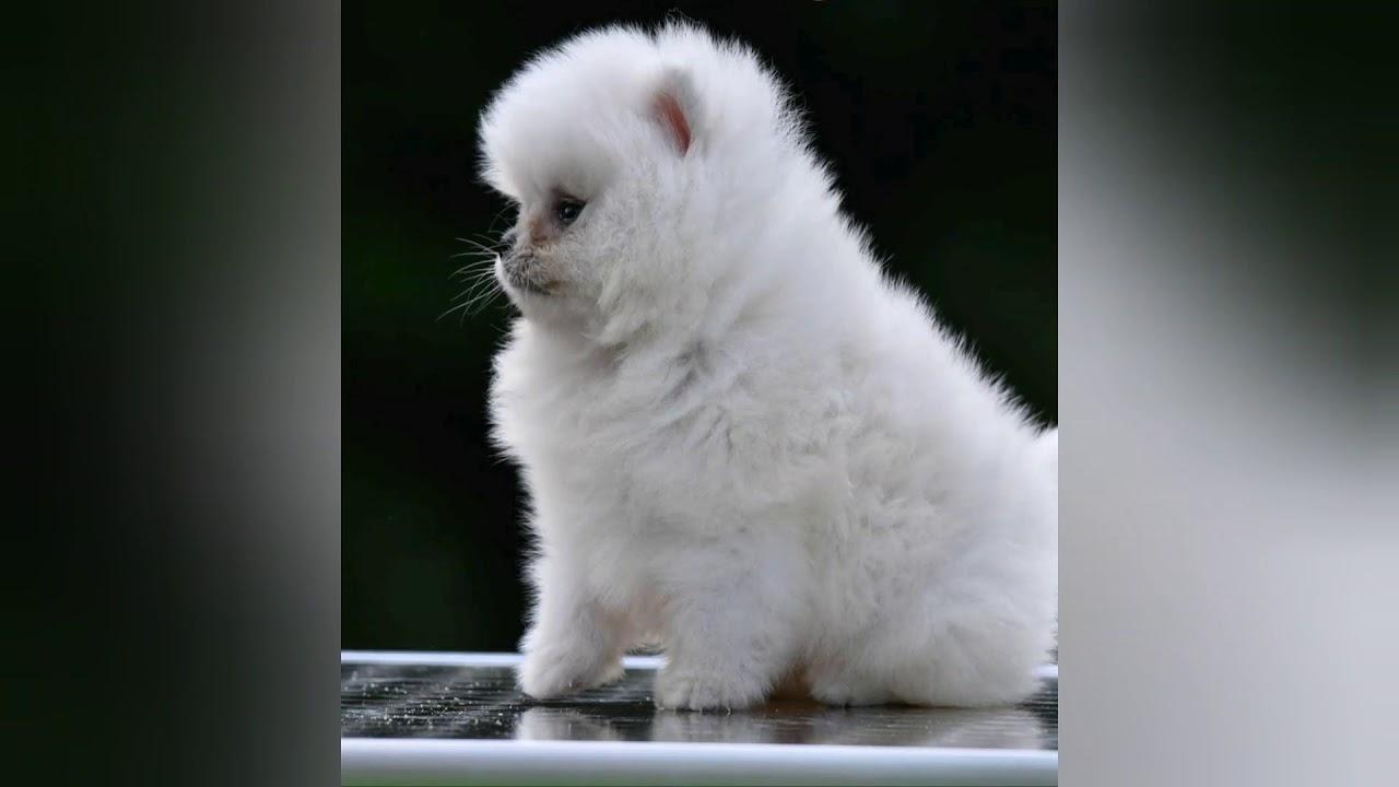 Pomeranian Boo Albania